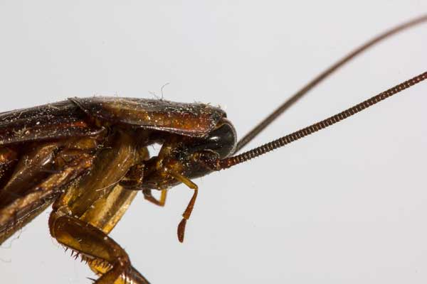 Doenças transmitidas pelas baratas: descubra quais são!