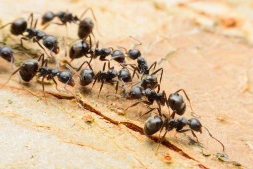 Entenda como a presença das formigas por ser uma ameaça à sua saúde