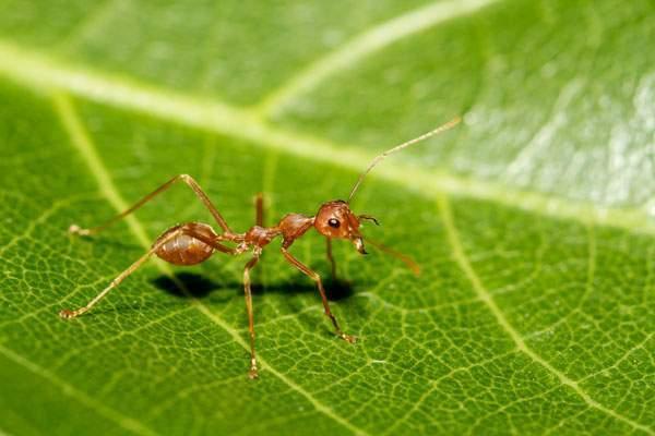 Formigas - Dedetização de formigas no Rio de Janeiro