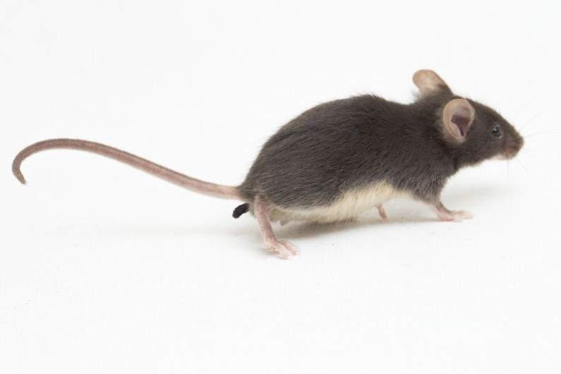 É necessário realizar a dedetização de ratos em épocas frias?